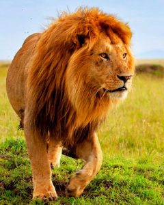 Majestic lion spotted in the Ngorongoro crater