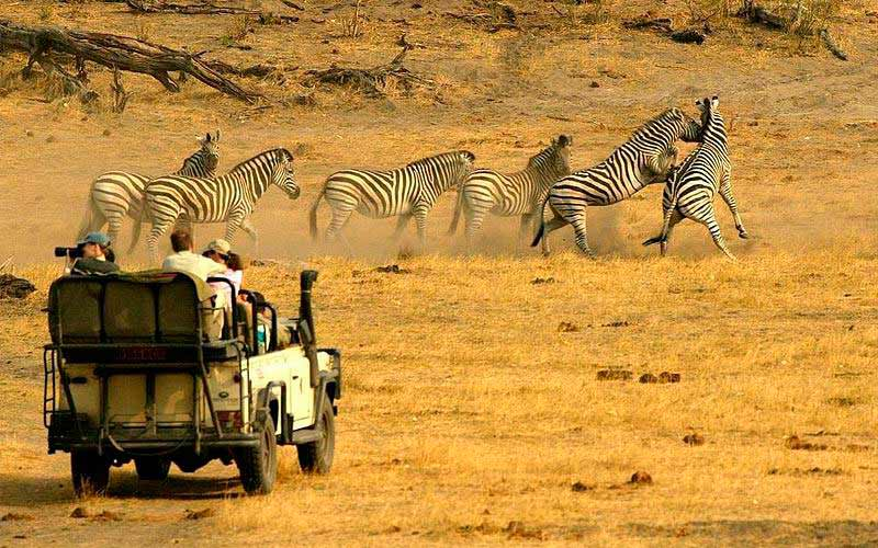zebras observed by tourists from the car